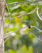 Mangrove hummingbird, Amazilia boucardi