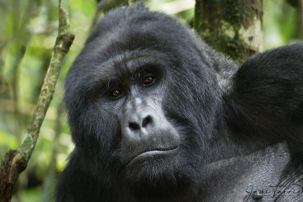 A Silverback mountain gorilla (Gorilla beringei beringei) close-up portrait while resting in the forest, Bwindi Impenetrable National Park, Uganda