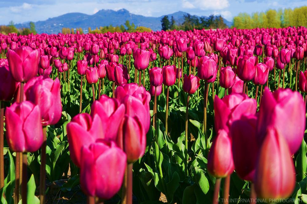Skagit County Tulip Festival
