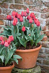 Tulipa 'Couleur Cardinal' in terracotta pot