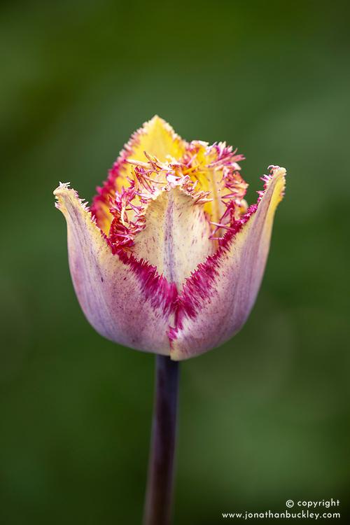 Tulipa 'Colour Fusion'