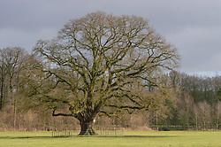 Hilverbeek, Stopbergen, oude eik,  's-Graveland, Wijdemeren, Noord Holland, Netherlands