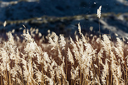 Backlit grasses, Bosque del Apache, National Wildlife Refuge, New Mexico, USA.