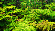 Fern forest along the Crater Rim Trail, Hawaii Volcanoes National Park, Hawaii USA