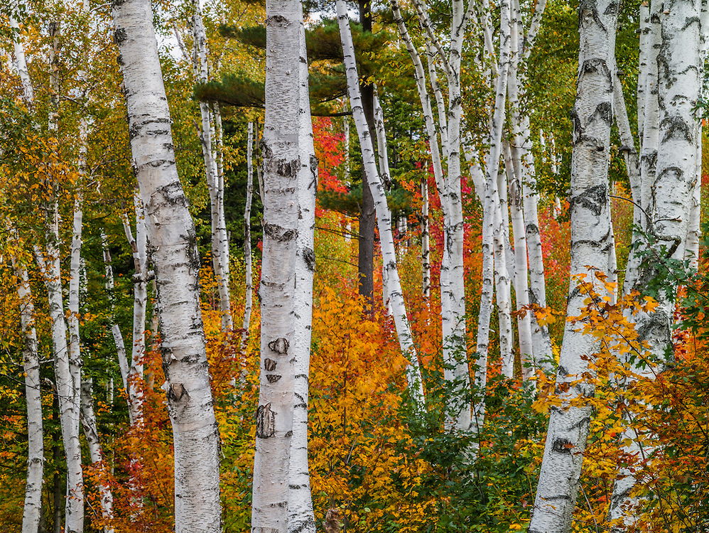 Famous birch trees, white birch tree trunks & surrounding fall colors, Shelburne, NH