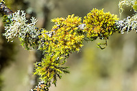 Many of the trees and rocks in the Pacific Northwest are literally covered and draped in communities of lichen and mosses. This photographs illustrates a common sight, such as this community growing and thriving on a large bigleaf maple tree just east of Olympia, Washington. Pictured here is yellow moss (a type of tree moss) and antlered perfume (a type of tree lichen).