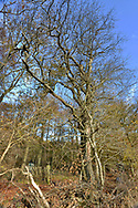 Wild Service Tree, Sorbus torminalis, on woodland boundary, Stoke Wood, Oxfordshire.