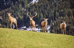 THEMENBILD - Rotwild auf einer Wiese in einem Wildtiergehege, aufgenommen am 07. März 2019 in Aurach, Oesterreich // Red deer in a meadow in a wild animal enclosure, Austria on 2019/03/07. EXPA Pictures © 2019, PhotoCredit: EXPA/Stefanie Oberhauser
