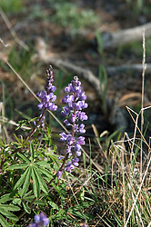 WY: Wyoming; Yellowstone National Park:.Lupine wildflower.Photo #: yellow1211..Photo copyright Lee Foster, 510/549-2202, lee@fostertravel.com, www.fostertravel.com..