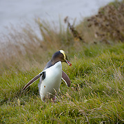 Yellow Eyed Penguins on Otago Peninsula