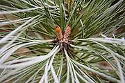 Detail of Ponderosa pine (Pinus ponderosa) needles and male cones growing in Spokane, Washington.