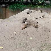 NL/Amersfoort/20200813 -  Bilal Wahib schept tijgerpoep in de  dierentuin, Prairiehonden