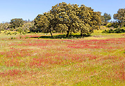 Countryside landscape of wildflower meadow and oak trees in springtime, near Castro Verde, Baixo Alentejo, Portugal, Southern Europe