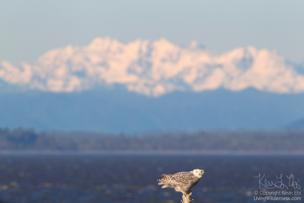 A young snowy owl (Nyctea scandiaca) is perched on driftwood at Damon Point in Ocean Shores, Washington. The Olympic Mountains are visible in the background. Snowy owls, which spend the summer in the northern circumpolar region north of 60 degrees latitude, have a typical winter range that includes Alaska, Canada and northern Eurasia. Every several years, for reasons still unexplained, the snowy owls migrate much farther south in an event known as an irruption. During the 2011-2012 irruption, Ocean Shores on the Washington coast was the winter home for an especially large number of snowy owls. Snowy owls tend to prefer coastal and plains areas, which most resemble the open tundra that serves as their typical home. The owl shown here is a young bird; snowy owls become almost entirely white as they age, though females retain some of the darker coloration.