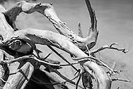 A convoluted piece of driftwood on a Florida Keys beach. WATERMARKS WILL NOT APPEAR ON PRINTS OR LICENSED IMAGES.