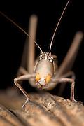 Grasshopper, Acrididae sp., Panama, Central America, Gamboa Reserve, Parque Nacional Soberania, backlight on leaf, head on, close up of face