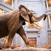 A life-size elephant dominates the main hall of the Smithsonian National Museum of Natural History in Washington DC.