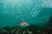 Leather bass (Dermatolepis dermatolepis) & Baitfish<br /> Buccaneer Cove, Santiago Island<br /> Galapagos<br /> Ecuador, South America
