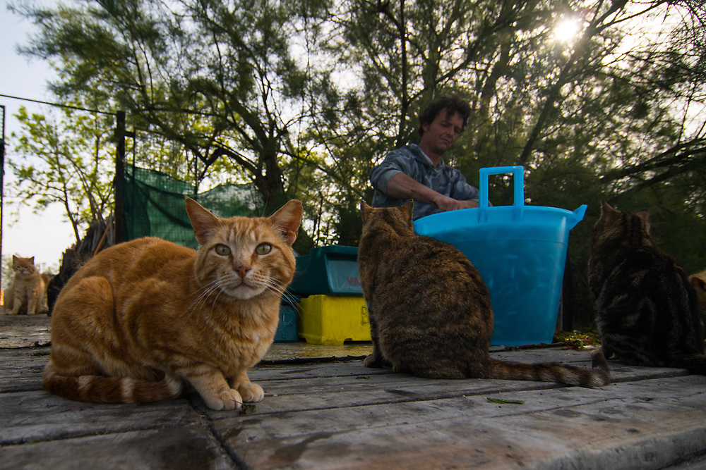 """VENICE, ITALY - APRIL 2018. <br /> After the checking tour Emiliano makes the selection of the crabs captured in his """"cason"""", the typical temporary house used by the fishermen. This houses are built on the island of the Venetian lagoon, and in each  house there is always a group of cats. It is a mutual relation, in which both cats and human being cooperate naturally: cats keep clean the houses from rats and other animals, the fishermen take care of them, feeding and checking them helped by vets."""