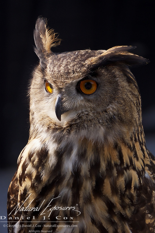 European Eagle Owl, a bird that is part of the falconry exhibit at the Ashford Castle, Ireland