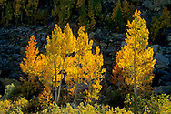 Aspen trees in fall along the South Fork of Bishop Creek, Inyo National Forest, Inyo County, Eastern Sierra, California