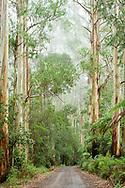 Oceania; Australia; Australian; Down Under; Victoria; Great Otway National Park, Eucalyptus Forest