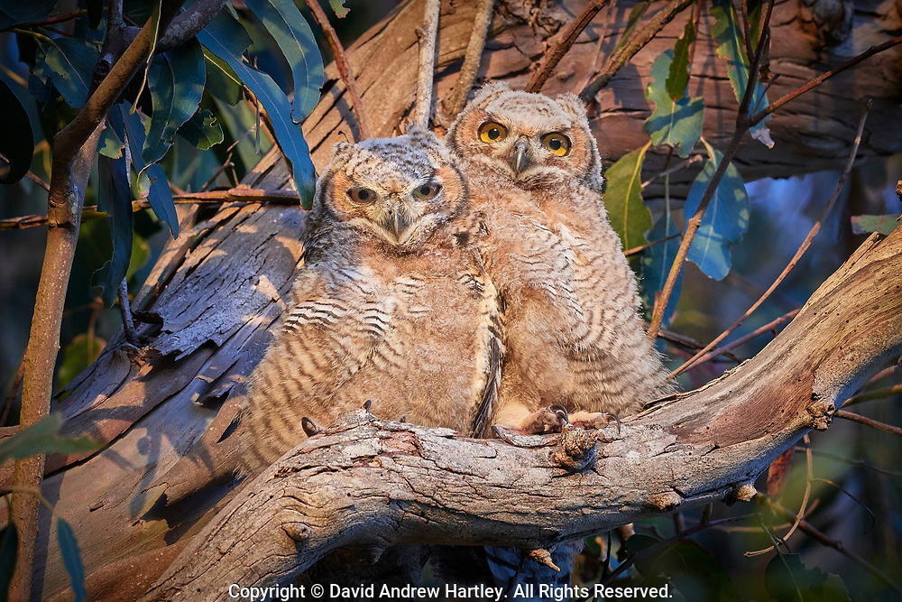 Two Great Horned Owlet Siblings on a Eucalyptus tree