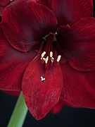 Hippeastrum (Spider Group) 'Carmen' - amaryllis