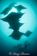 scuba diver photographs reef manta rays, Manta alfredi (formerly Manta birostris ), feeding on plankton, Hanifaru Bay, Hanifaru Lagoon, Baa Atoll, Maldives ( Indian Ocean )