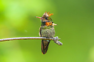 A male Tufted Coquette (Lophornis ornatus) perched. Trinidad