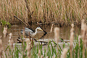 Grey Heron looking for fish in one of the pools in the flooded peat workings at Shapwick Heath.
