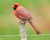 Northern Cardinal (Cardinalis cardinalis). Image taken with a Nikon D850 camera and  500 mm f/4 VR lens.