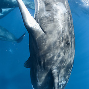 This is an adult female sperm whale (Physeter macrocephalus) at the ocean surface, with other members of her social unit visible in the background.