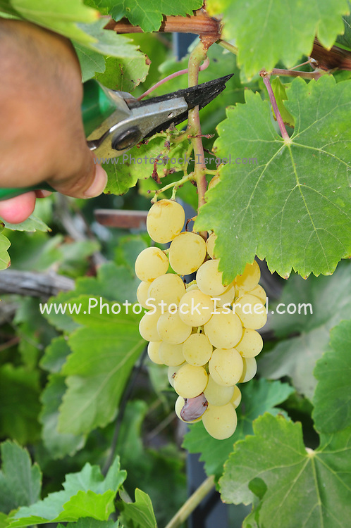 hand picks grapes from a grapevine - Model Release Available