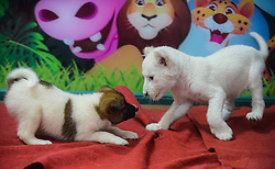 1406138<br /> A two-month-old white lion plays with a puppy at a wildlife park in Hangzhou, capital of east China s Zhejiang Province, April 21, 2014. The white lion cub was born in Hangzhou in February. As its mother refused to feed the cub, a dog was brought here by staff members as its wet nurse,  Monday, 21st April 2014. Picture by  imago / i-Images<br /> UK ONLY