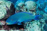 Indian Ocean steephead parrotfish, Scarus strongylocephalus, feeding on algae growing on dead coral, Marchengrotte, Helengeli, Maldives ( Indian Ocean )