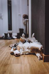 THEMENBILD - ein Australian Shepherd liegt in einer Wohnung am Boden und streckt sich, aufgenommen am 05. Februar 2021, Kaprun, Österreich // an Australian Shepherd lies on the floor in a flat and stretches himself, Kaprun, Austria on 2021/02/05. EXPA Pictures © 2021, PhotoCredit: EXPA/ JFK