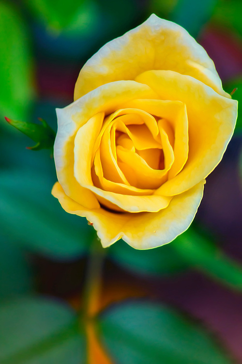 A tiny yellow teacup rose from the garden
