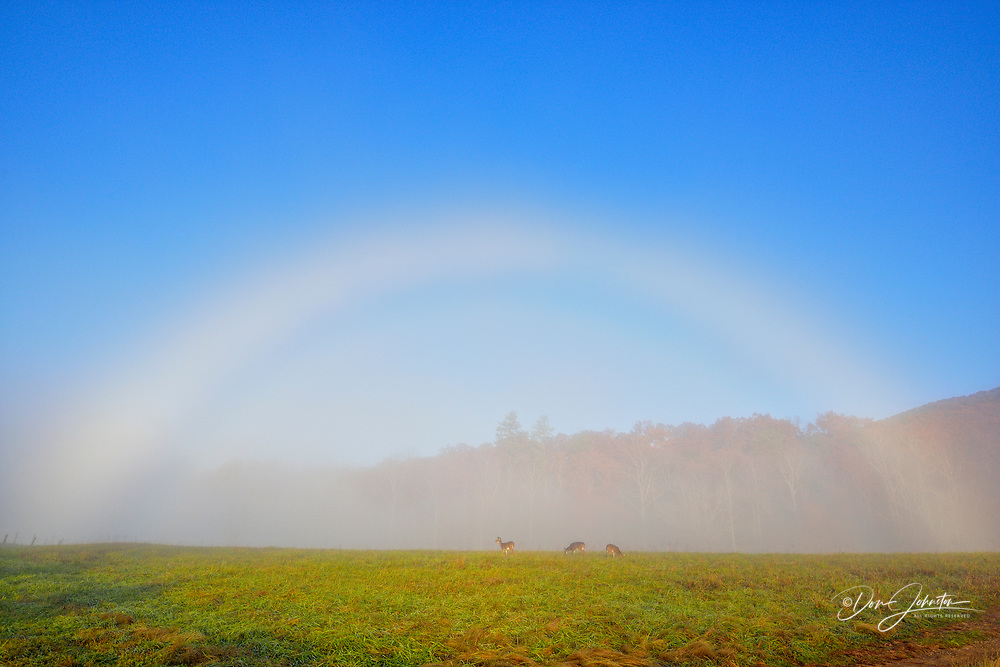 A 'fogbow' over a pasture with grazing deer, Great Smoky Mountains NP, Tennessee, USA