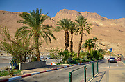 Dates Palm tree plantation at Kibbutz Ein Gedy on the shores of the Dead Sea, Israel
