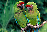 A pair of military macaws (Ara militaris). Range: South Mexico to East Bolivia, Captive, Portland Oregon.