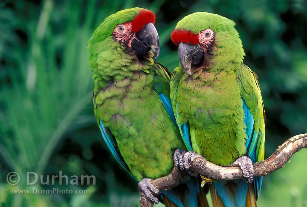 A pair of military macaws (Ara militaris). Range: South Mexico to East Bolivia, Captive, Portland Oregon.