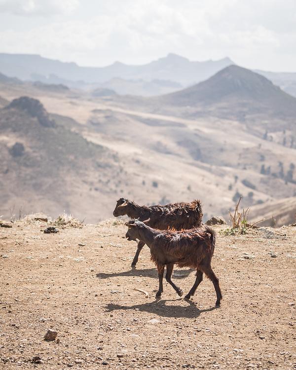 26 January 2019, Ethiopia: Mountain goats walk in the Bale Mountains, Ethiopia.
