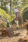 Farmers use the wind to sieve and separate ground nuts from earth after they have been ploughed. Seen here near the ancient city of Bagan, Myanmar
