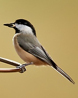 Black-capped Chickadee (Poecile atricapillus). Image taken with a Nikon D5 camera and 600 mm f/4 VR telephoto lens.