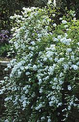 Exochorda x macrantha 'The Bride' - Pearl bush