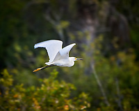 Snowy Egret in flight. Black Point Wildlife Drive, Merritt Island National Wildlife Refuge. Image taken with a Nikon D3s camera and 80-400 mm VR lens (ISO 200, 400 mm, f/5.6, 1/320 sec).