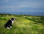 Akbash/Border Collie mix dog sitting on hillside overlooking ocean