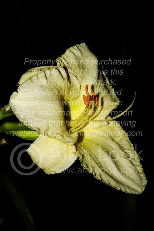 04 August 2013:   Lillies