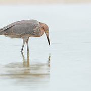 Reddish egret (Egretta refescens) studies the shalow water for movement of prey beneath the surface. Photographed at Bunche Beach Preserve, southwest Florida.